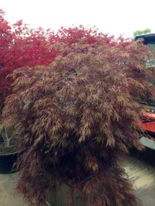 "September 16, 2016 - Some of the landscape materials have arrived. Including one named the ""Crimson Queen."" Technically it's called Acer palmatum var. dissectum. Sunnyside Acura Nashua, NH"