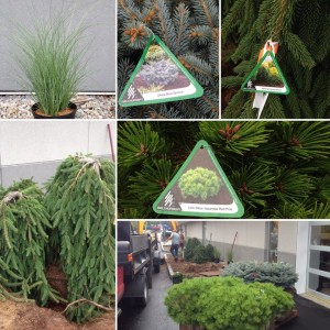 September 19, 2016 - Landscaping is moving right along. Globe Blue Spruce, Low Glow Japanese Red Pine and Weeping Norway Spruce, amongst others. Sunnyside Acura Nashua, NH